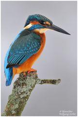 --- Eisvogel Nr. 3 --- ( Alcedo atthis )