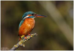 --- Eisvogel Nr. 7 --- ( Alcedo atthis )