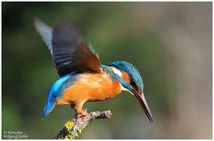 --- Eisvogel Nr. 8 --- (Alcedo atthis )