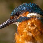 Eisvogel Profil Porträt
