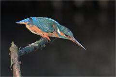 Eisvogel - Weibchen