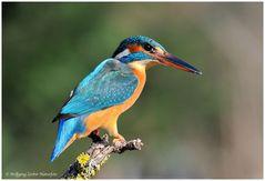 --- Eisvogel , weiblich--- ( Alcedo atthis )