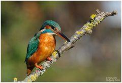 --- Eisvogel weiblich Nr.2 --- ( Alcedo atthis )