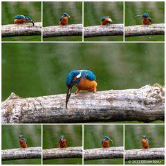 Eisvogel_Collage