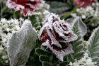 Eiszauber auf roter Rose