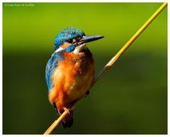 ---- Eivogel am Schilfhalm ---- ( Alcedo atthis )
