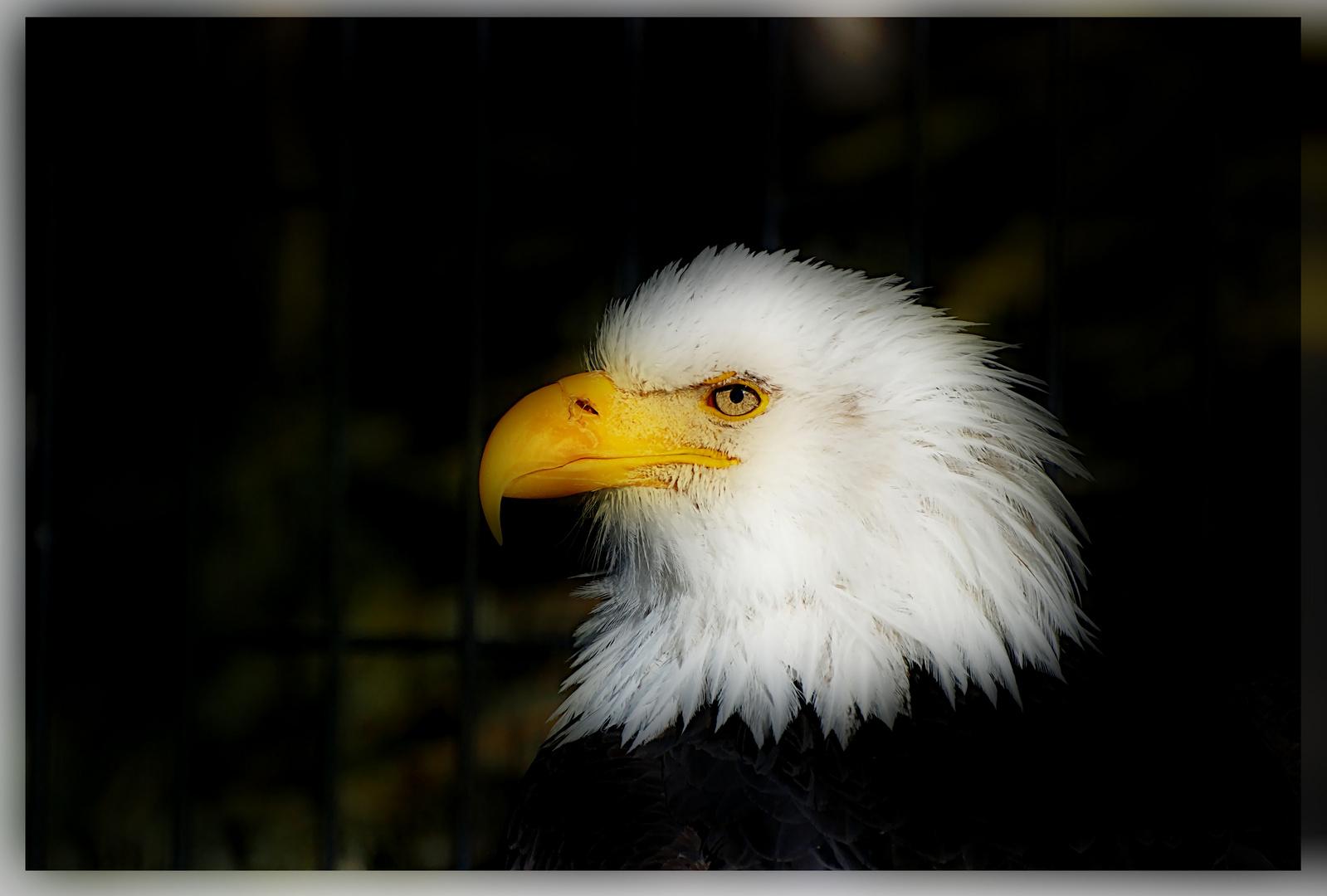 El Aguila Calva