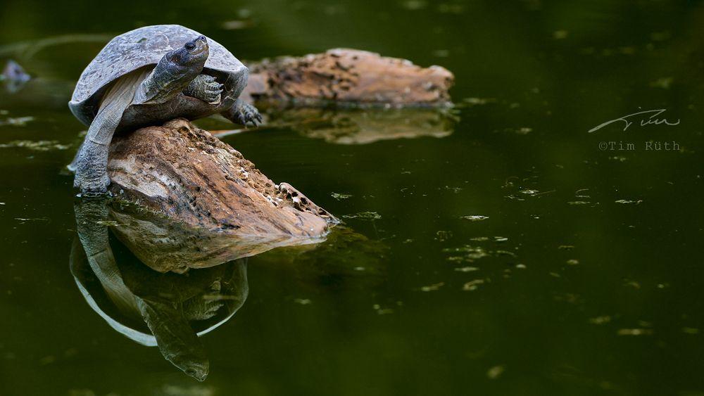 El baile de la tortuga