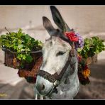 El burro de Villarino