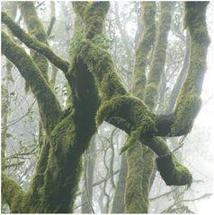 El Cedro, der magische Nebelwald