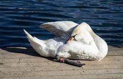 El cisne de Bled