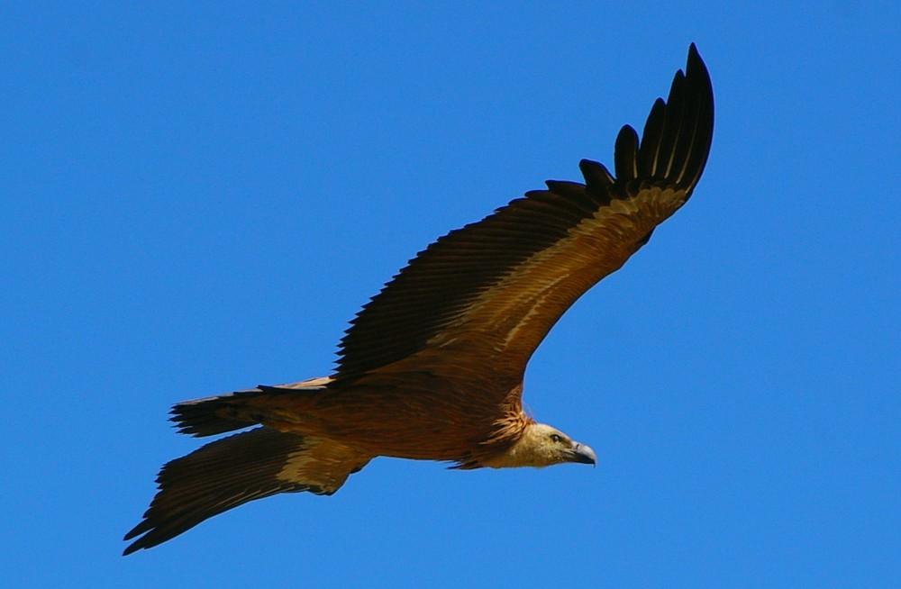 El Condor Pasa (Geier in den Pyrenäen)