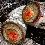 el corazón del árbol