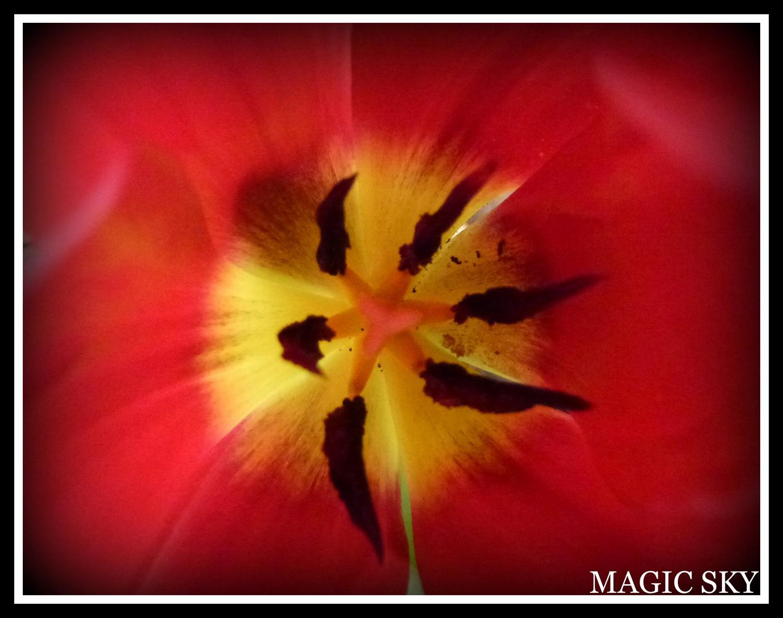 El corazón del tulipan