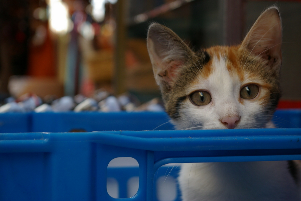 El gato encajonado