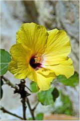 El Hibisco, amarella
