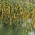 El pino llovido I