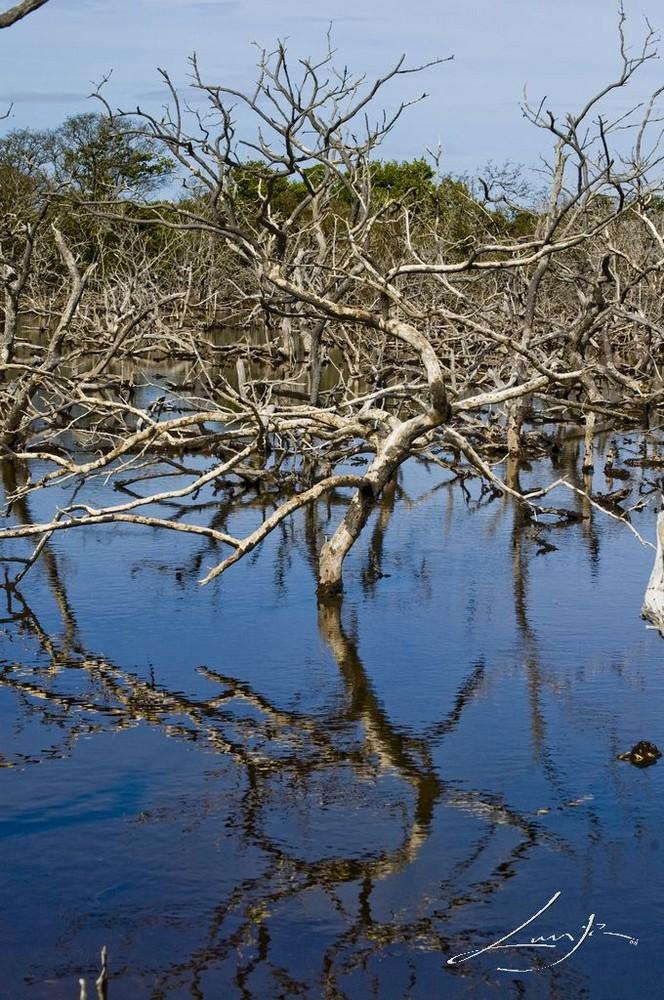el reflejo del manglar muerto