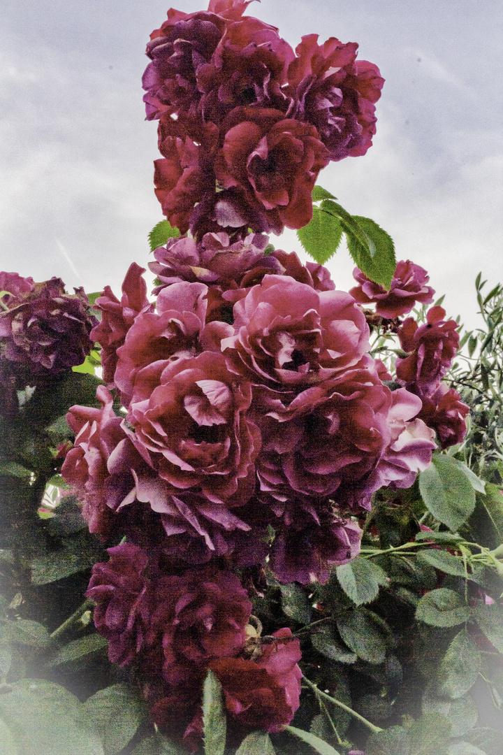 El rosal