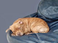 El sueño del cachorro