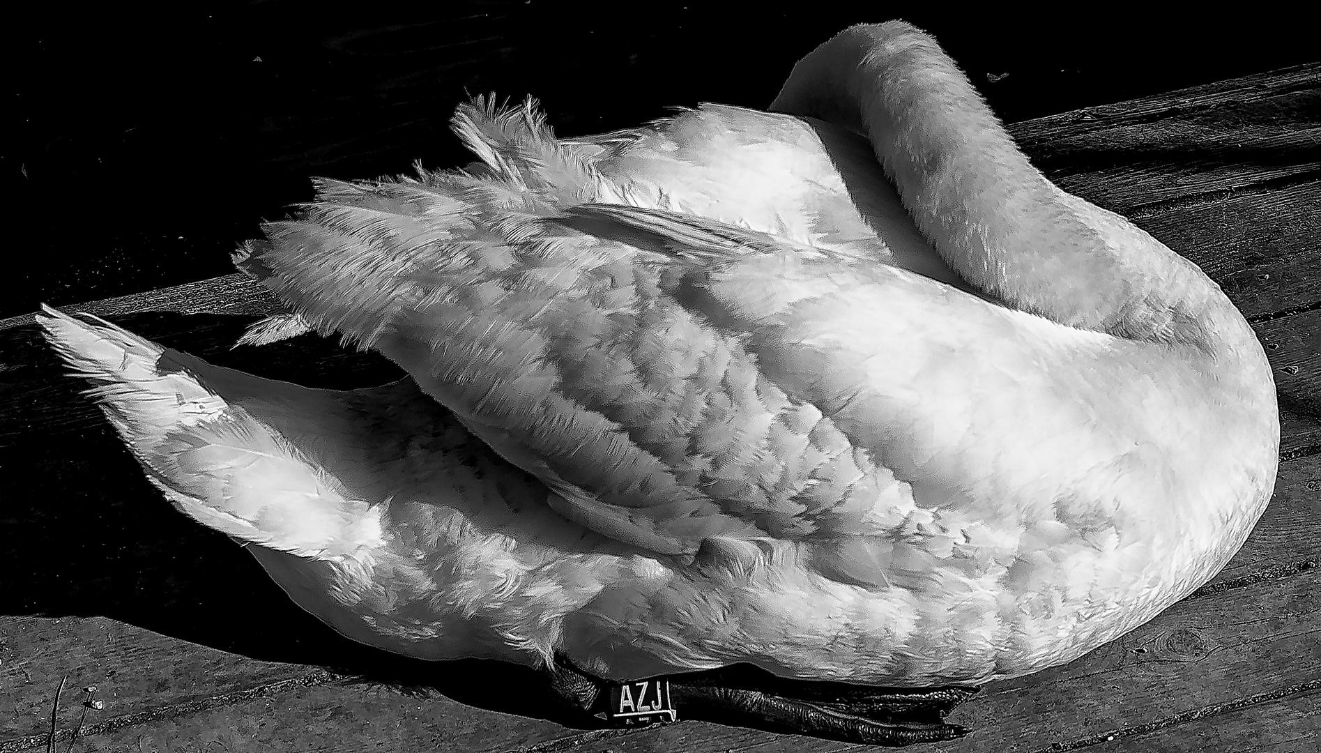 El sueño del cisne.