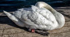 El sueño del cisne -I