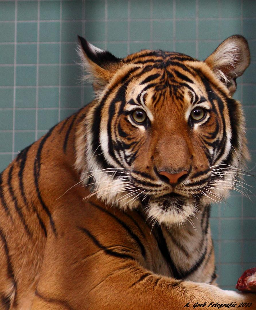 El Tigre....mein Kätzchen