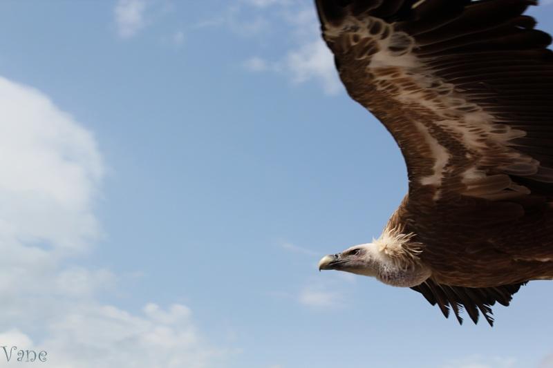... el vuelo del buitre ...