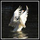 El vuelo del cisne