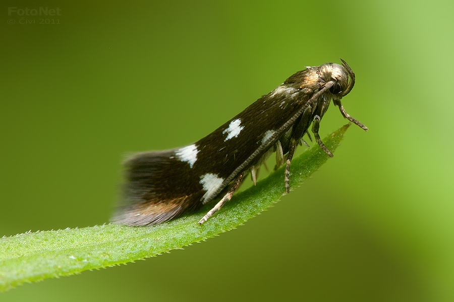 Elachista quadripunctella - travovcek stvorbody