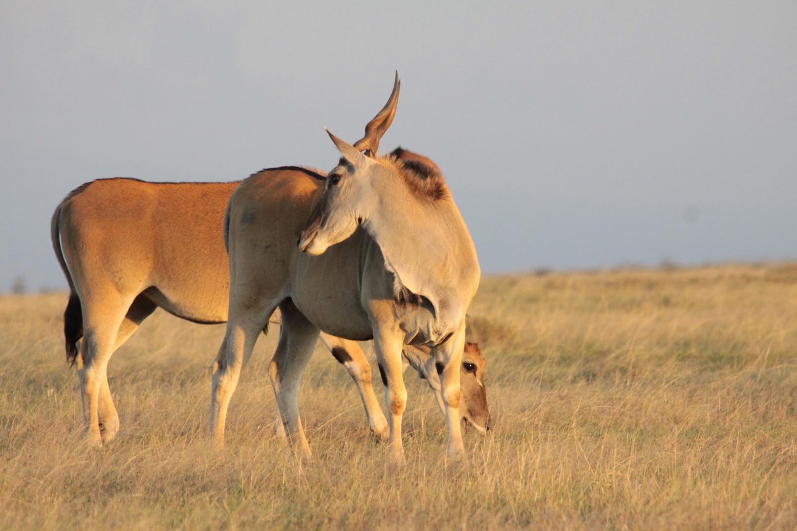 Eland Antilopen
