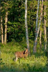 Elch in Masurens Wäldern