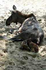 Elchkuh mit Jungem kurz nach der Geburt