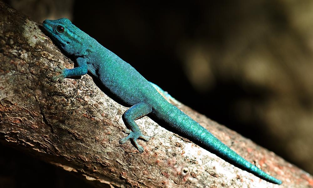 """Electric blue""-Gecko (Lygodactylus williamsi)"