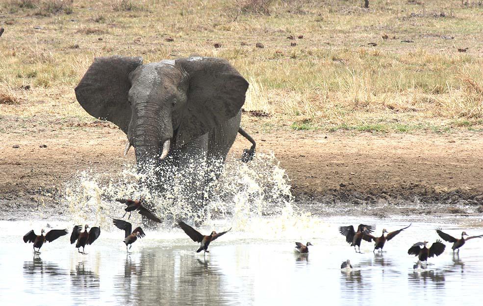 Elefant am Wasserloch