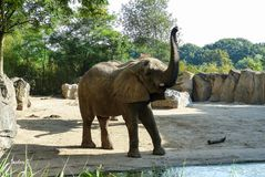 Elefant auf Futtersuche oder angriffslustig?