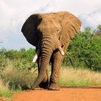 Elefant auf Strasse #1