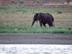 Elefant bei der Nahrungsaufnahme.