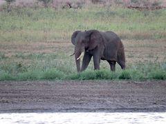 Elefant beim Gras fressen.