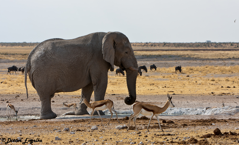Elefant...