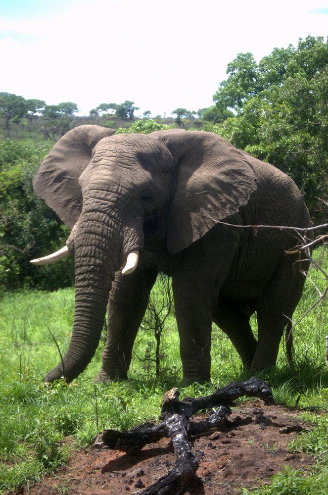 Elefant gefählich nah