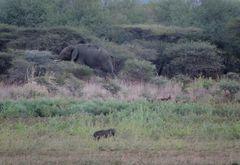 Elefant im Busch.