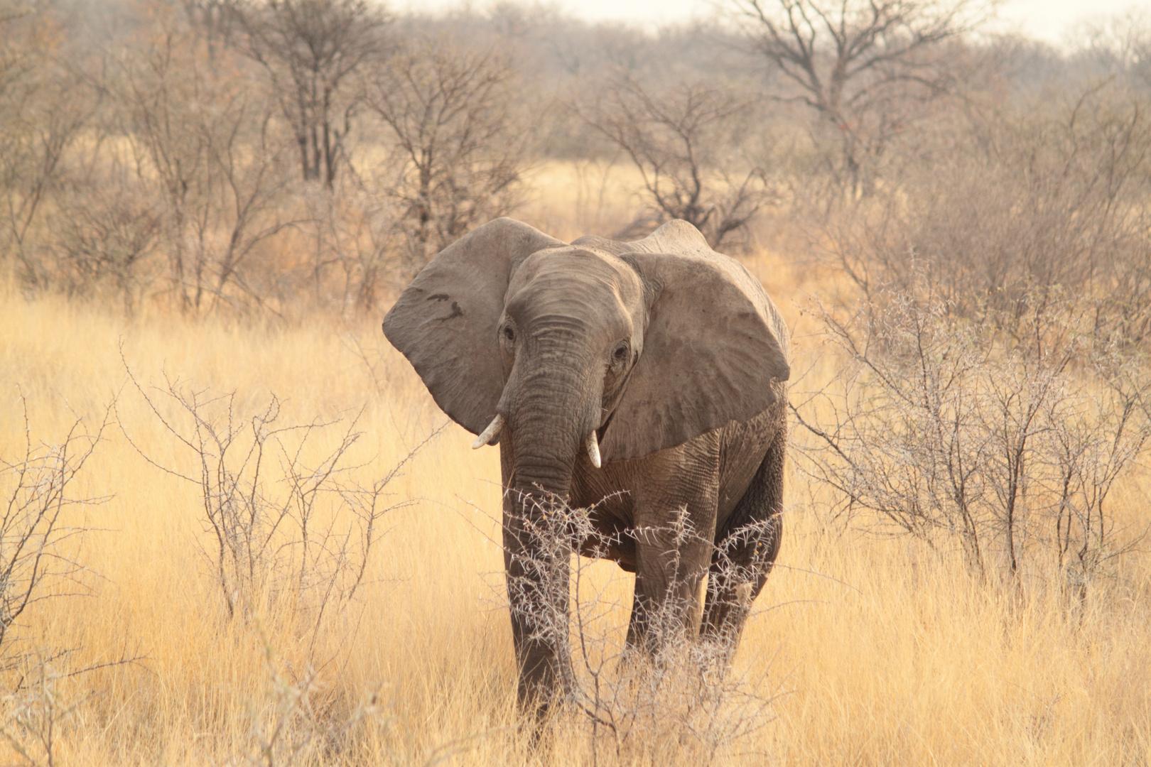 Elefant im Etosha