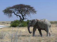 Elefant im Etosha Nationalpark / Namibia