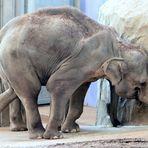 Elefant im Kölner Zoo bei der Futtersuche