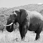 Elefant im Pilanesberg, Südafrika