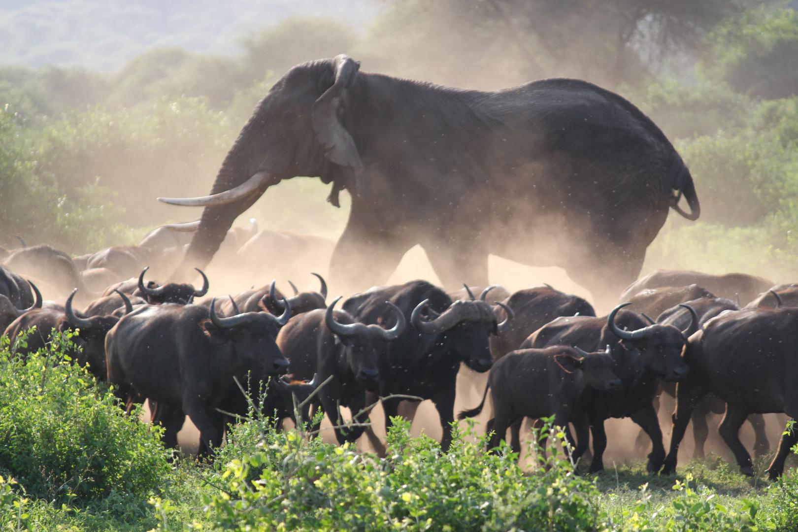 Elefant in Büffelherde