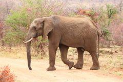 Elefant in Pilanesberg Park