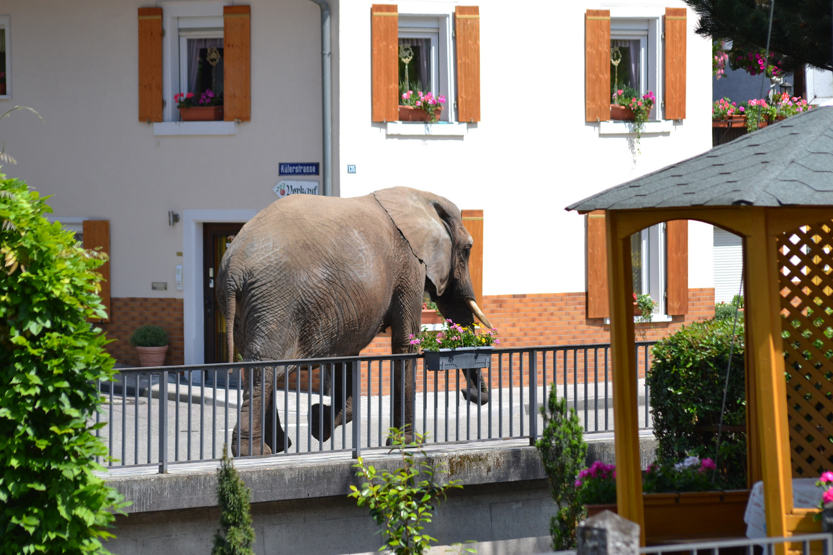 Elefant läuft durch die Straßen