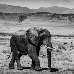 Elefant Ngorongoro Krater
